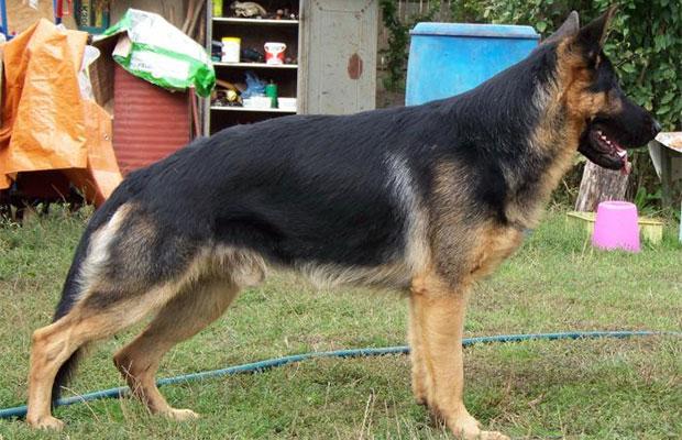 Рассчитывая размеры будки, нужно знать стандартные габариты взрослой собаки